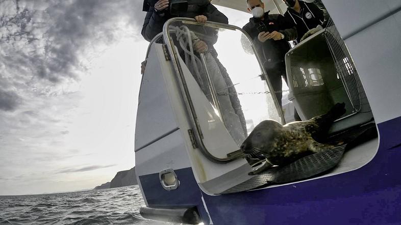 La Diputación Foral de Bizkaia libera un ejemplar joven de foca gris que apareció el 11 de diciembre en el puerto de Bermeo